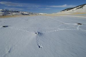Tracks in the Snow from One Prairie Dog Den to Another by Michael Forsberg