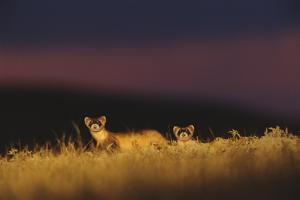 Two Black-Footed Ferrets Peek Up from the Grass on the Prairie by Michael Forsberg
