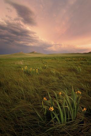 Wild Iris Flowers Grow in Long Prairie Grass by Michael Forsberg