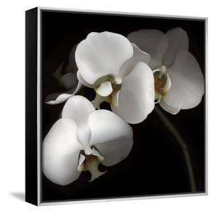 White Phalaenopsis Orchids by Michael Freeman