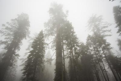 Thick Fog In The Large Trees In Sequoia National Park, California