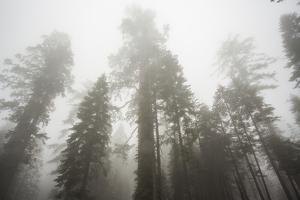 Thick Fog In The Large Trees In Sequoia National Park, California by Michael Hanson