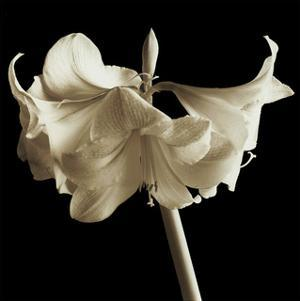 Amaryllis by Michael Harrison