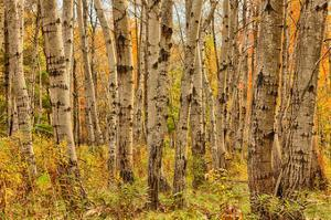 Birch Trees, Acadia by Michael Hudson