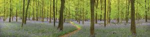 Bluebell Woods Panorama by Michael Hudson