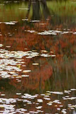 Lily Pads and Red Maple by Michael Hudson