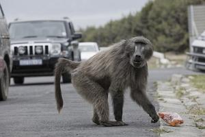 Chacma Baboon (Papio Cynocephalus Ursinus) Eating Food Raided from Car by Michael Hutchinson
