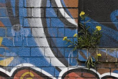 Groundsel (Senecio Sp) Growing Out of Brick Wall Covered in Colourful Graffiti, Bristol, UK by Michael Hutchinson
