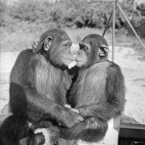 Two Chimpanzees Hugging by Michael J. Ackerman