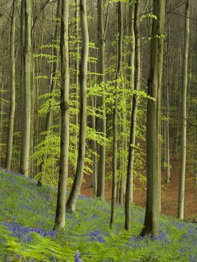 bluebells, Hyacinthoides nonscripta, Hallerbos, Belgium by Michael Jaeschke