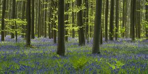 bluebells, Hyacinthoides nonscripta, Hallerbos, Brussels, Belgium by Michael Jaeschke
