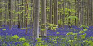 bluebells, Hyacinthoides nonscripta, Hallerbos nature reserve, Belgium by Michael Jaeschke