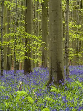 bluebells, Hyacinthoides nonscripta, spring in the Hallerbos nature reserve, Belgium by Michael Jaeschke