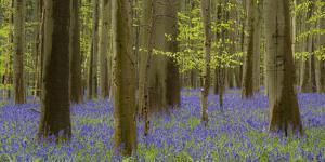 bluebells, Hyacinthoides nonscripta, spring in the Hallerbos nature reserve, Brussels, Belgium by Michael Jaeschke