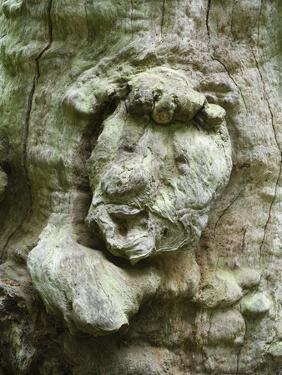 forest spirit, tree face in old beech, Urwald Sababurg, Reinhardswald, Hessia, Germany by Michael Jaeschke
