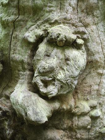 forest spirit, tree face in old beech, Urwald Sababurg, Reinhardswald, Hessia, Germany