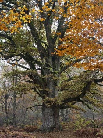Oak in the Urwald Sababurg, Reinhardswald, Hessia, Germany