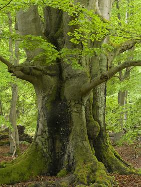 Old beech in the spring, Urwald Sababurg, Reinhardswald, Hessia, Germany by Michael Jaeschke