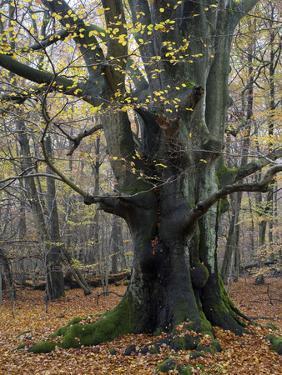Old beech in the Urwald Sababurg, autumn, Reinhardswald, Hessia, Germany by Michael Jaeschke