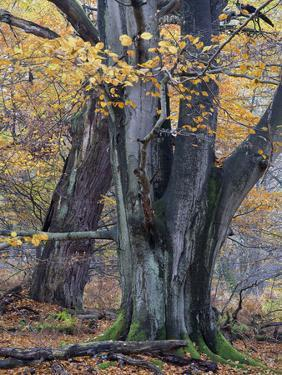 Old beeches in the Urwald Sababurg, Reinhardswald, Hessia, Germany by Michael Jaeschke