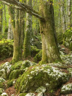 Old trees in the Sunik water grove, Lepenatal, Triglav national park, Julian Alps, Slovenia by Michael Jaeschke
