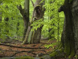Old trees in the Urwald Sababurg, Reinhardswald, Hessia, Germany by Michael Jaeschke