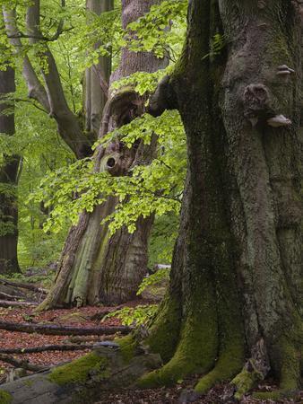 Old trees in the Urwald Sababurg, Reinhardswald, Hessia, Germany