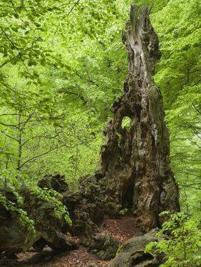 Old trunk of a beech in the Urwald Sababurg, Reinhardswald, Hessia, Germany by Michael Jaeschke