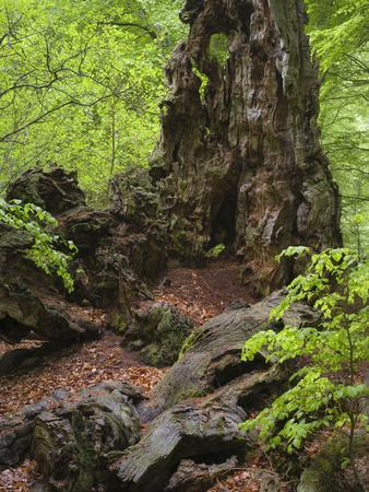 Old trunk of a beech in the Urwald Sababurg, Reinhardswald, Hessia, Germany