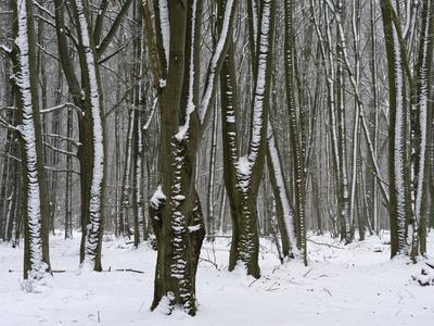 Winter in the Urwald Sababurg, Reinhardswald, Hessia, Germany
