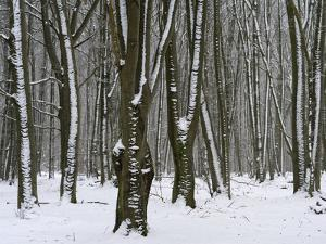 Winter in the Urwald Sababurg, Reinhardswald, Hessia, Germany by Michael Jaeschke