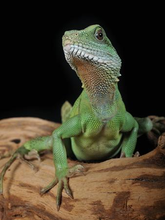 Chinese Water Dragon (Physignathus Cocincinus), Captive by Michael Kern
