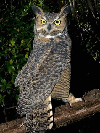 Great Horned Owls (Bubo Virginianus) Native to North America and in Central and South America by Michael Kern
