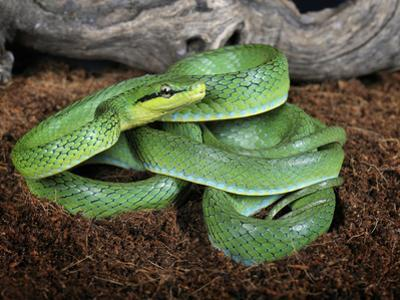 Green Trinket Snake (Elaphe Frenata) Captive by Michael Kern