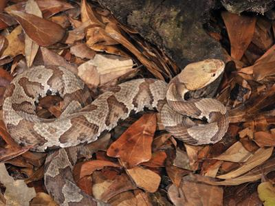 Northern Copperhead (Agkistrodon Contortrix Mokasen), Captive by Michael Kern