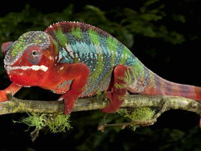 Panther Chameleon (Furcifer Pardalis), Captive by Michael Kern