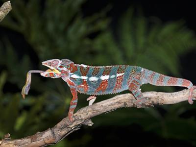 Panther Chameleon (Furcifer Pardalis) Catching Food, Ambilobe, Madagascar, Captive by Michael Kern