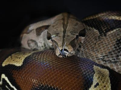 Red Tailed Boa (Boa Constrictor Constrictor), Captive by Michael Kern