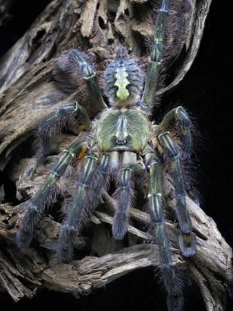 Redslate Ornamental Tarantula (Poecilotheria Rufilata), Captive by Michael Kern