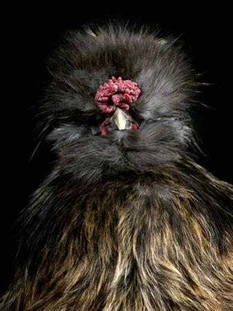Silkie Chicken (Gallus Domesticus), Captive by Michael Kern