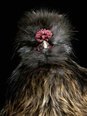 Silkie Chicken (Gallus Domesticus), Captive by Michael Kern