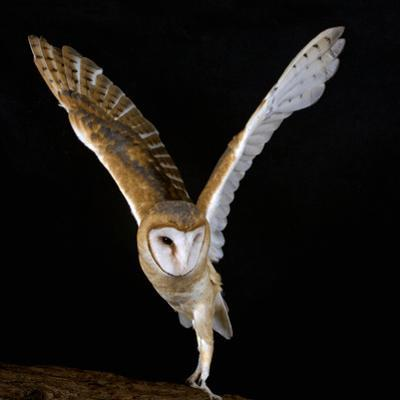 The Common Barn Owl (Tyto Alba) Is One of the Most Wide-Spread of All Land Birds, Captive by Michael Kern