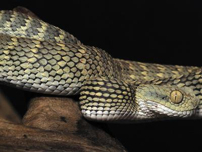 Variable Bush Viper (Atheris Squamigera), Captive by Michael Kern