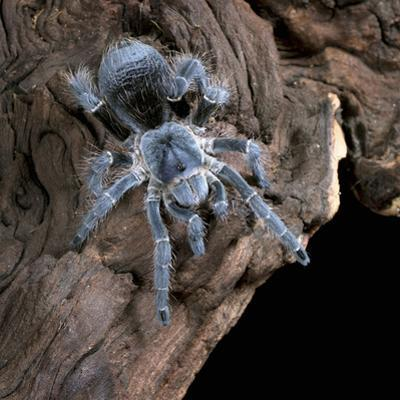 White-Collared Tarantula (Eupalaestrus Weijenberghi), Captive by Michael Kern