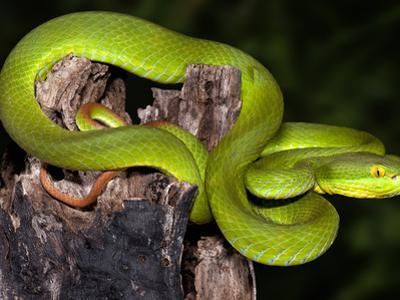 White-Lipped Tree Viper (Cryptelytrops Albolabris), Captive by Michael Kern