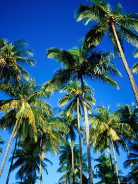 Cluster of Palm Trees, Great Courland Bay, Northwestern Coast, Grafton Beach, Trinidad & Tobago by Michael Lawrence