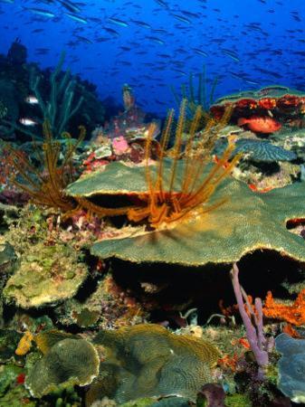 Coral Plates, La Sorciere, Soufriere Bay, Soufriere, Dominica by Michael Lawrence