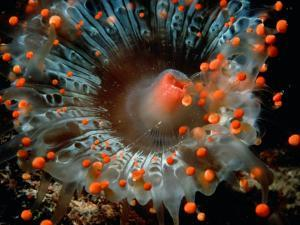 Detail of Orange Ball Corallimorpharian, Castle Comfort House Reef, Dominica by Michael Lawrence