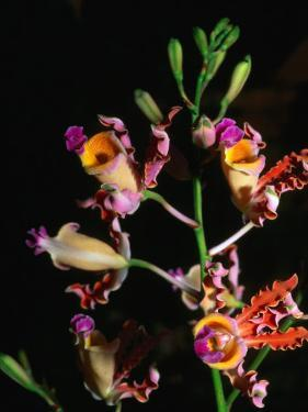 Detail of Orchid, Flowers Bay, Honduras by Michael Lawrence