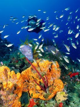 Diving at Barry's Dream Site, Near Mero, Mero, Dominica by Michael Lawrence